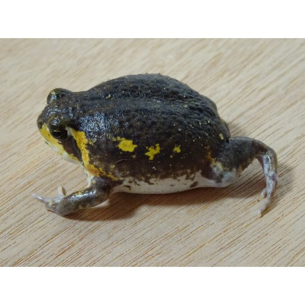 Mossambic Rain Frog on the move
