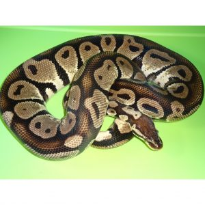 Pastel Ball female 1600g