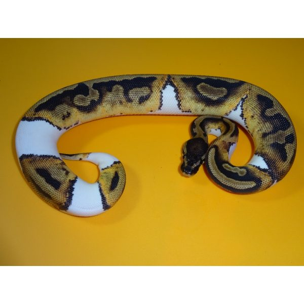 Piebald 30% female H 150g 2