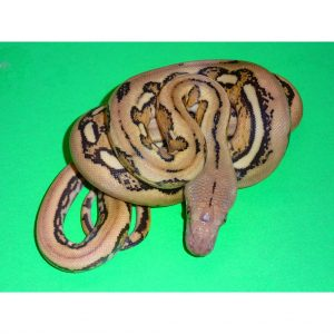 Platinum Tiger Reticulated Python baby