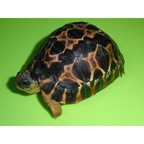 Radiated Tortoise baby