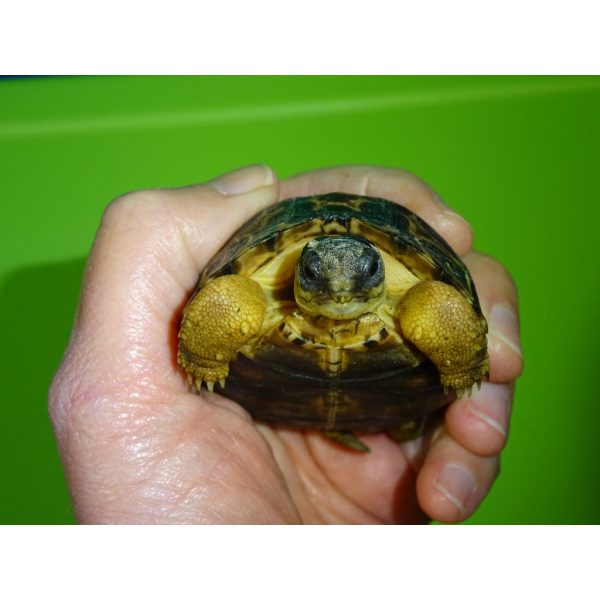 Radiated Tortoise face
