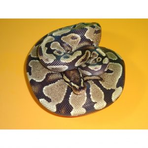 Spark Ball female 550g