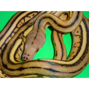 Super Tiger Reticulated Python