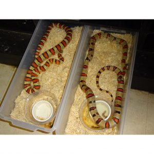 Variable Kingsnake adult