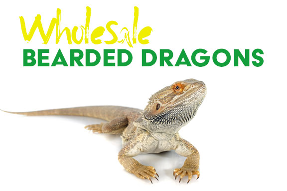 Wholesale Bearded Dragons