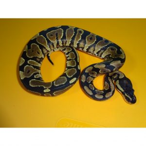 Yellow Bellied female 100g