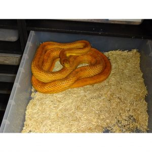 Hypo Everglades Rat adult