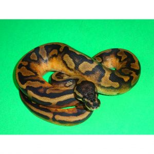 Piebald 0% white Anaconda female 350 100g