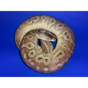 Sterling female 1000g