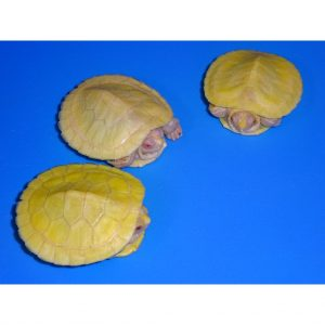 Albino Red Ear Slider babies