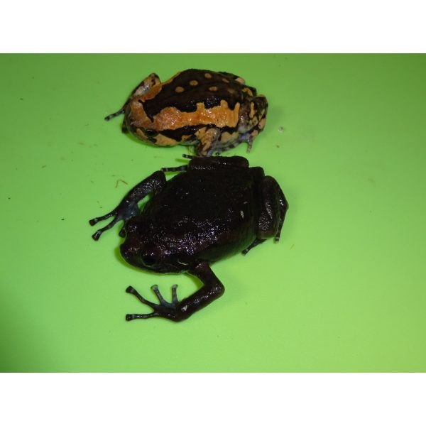 Black Chubby Frog with normal
