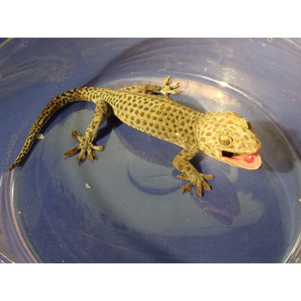 Black Spotted Tokay