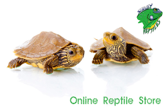 Turtles for Sale. Below are our captive bred and imported live turtles for sale, from around the globe. Included are both terrestrial and aquatic species, from hatchlings to adults.