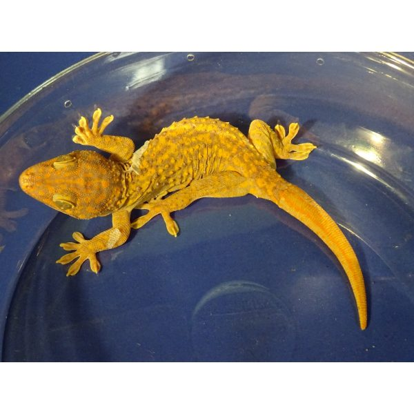 Orange Albino Tokay