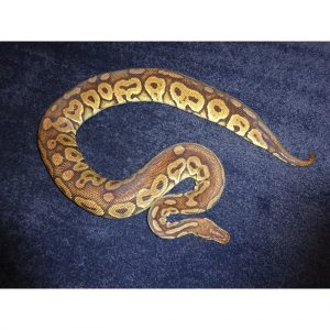 Pewter in shed 2300g female
