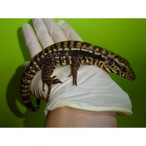 Red X Blue Tegu baby