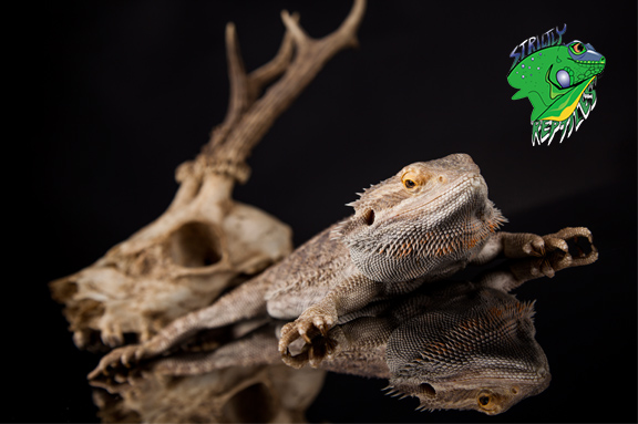 Reptiles For Sale Online Strictly Reptiles Wholesale - Www