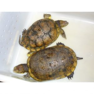 Blanding Turtle adult pair
