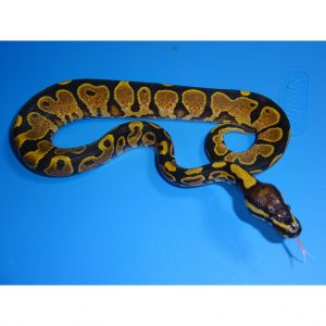 Calico Yellow Belly male 90g