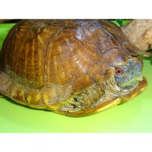 Ornate Box Turtle adult