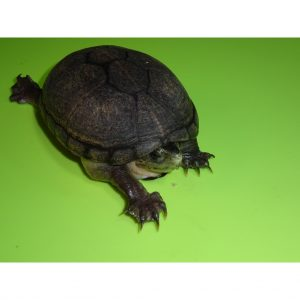 Florida Mud Turtle adult