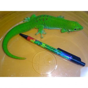 Giant Day Gecko adult