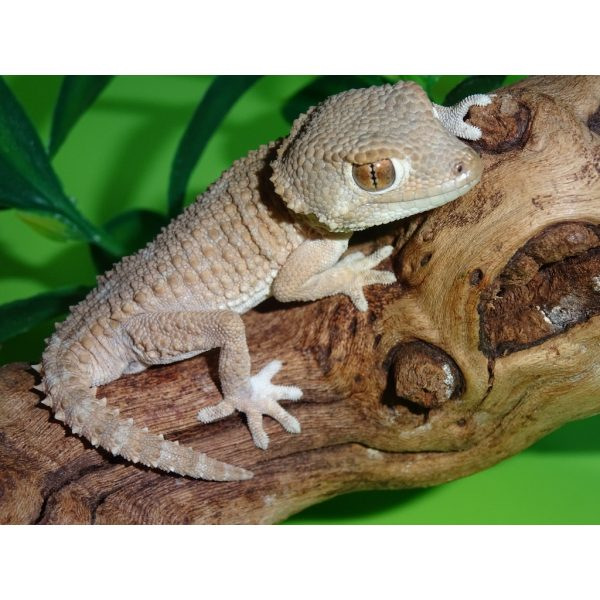 Helmeted Gecko adult male