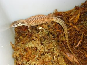 Red Spinytail Monitor Ackie
