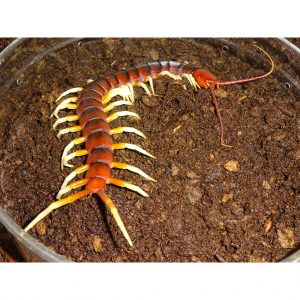 Amazon Giant Centipede but end