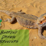 Bearded Dragon Breeder
