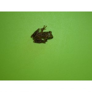 Casque Head Tree Frog baby