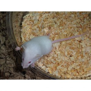 Mouse adult size_000_lg