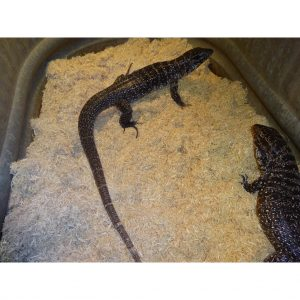 Colombian Black & White Tegus tame 3 foot_000_lg