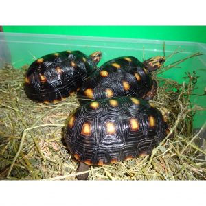 Red Foot Tortoise Venz 4 - 7 inch_000_lg