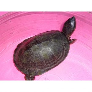 West African Black Mud 4 - 5 inch