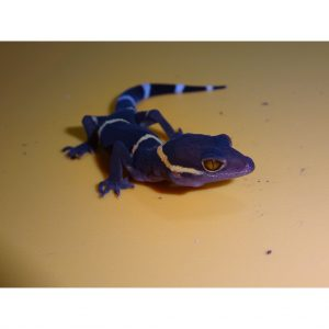 Chinese Cave Gecko face_000_lg