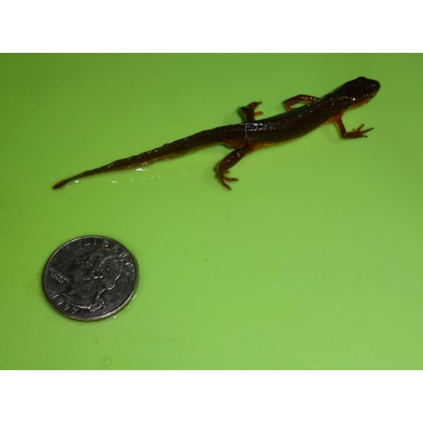 Eastern Newt moves fast