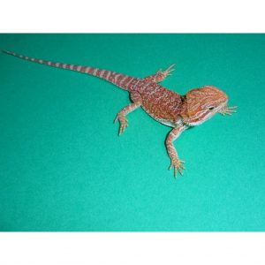 Premium Red Bearded Dragon