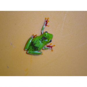 Ghana Reed Frog moving