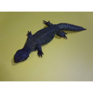 Moroccan Uromastyx adult