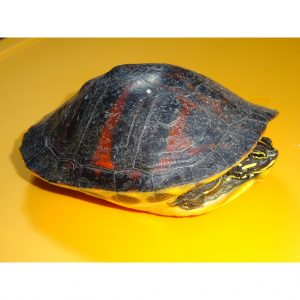 Red Bellied Cooter adult top side