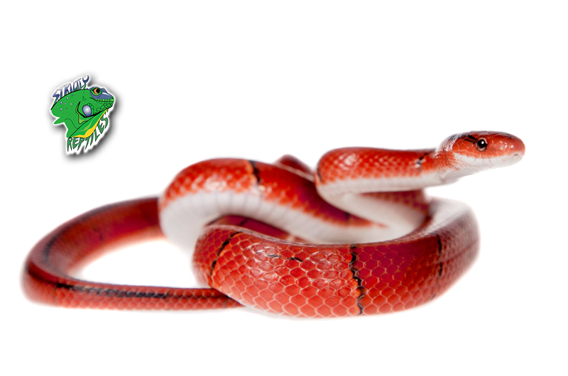 Buy Snakes for Sale Online