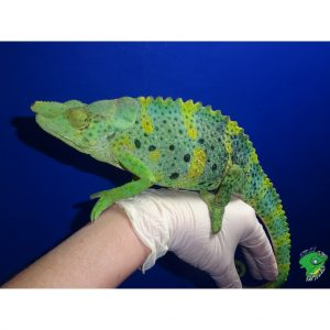 Mellers Chameleon on hand