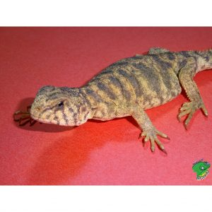 Ornate Uromastyx baby face