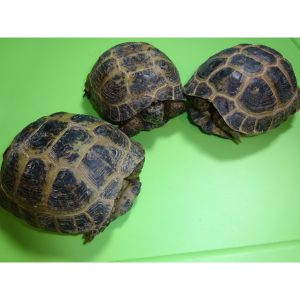 Russian Tortoises 4 to 5 inch