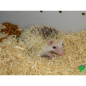 Hedge Hog baby