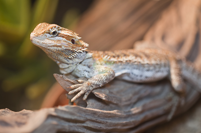 Where to Buy Bearded Dragons