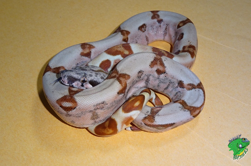 Exotic Snakes For Sale